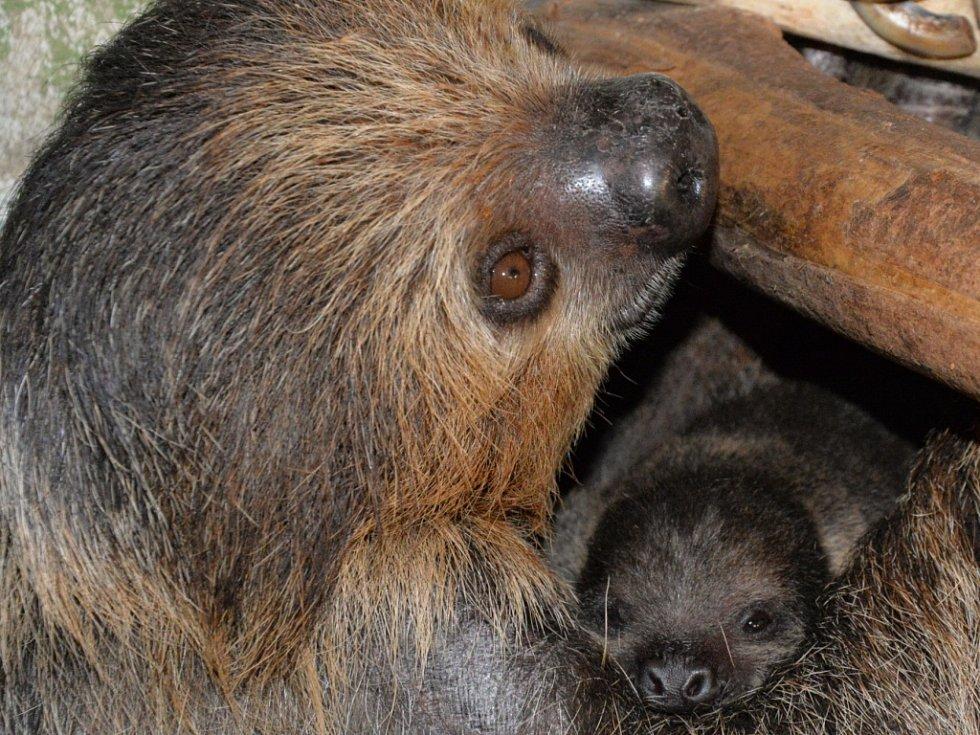 Mládě lenochoda se v ústecké zoo narodilo 1. ledna 2017.