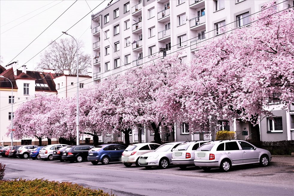 Rozkvetlá alej sakur v neštěmické ulici Seifertova.