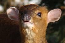 Muntžak malý patří k druhům, které ústecká zoo úspěšně množí.