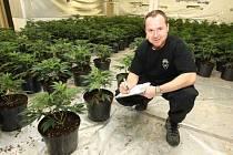 Policejní inspektor mezi rostlinami konopí