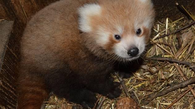 Mládě pandy červené v ústecké zoo.
