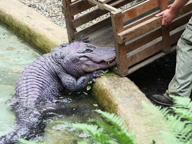 ZOO ÚSTÍ: Stěhování aligátora Libora do letního výběhu.