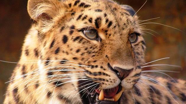 Mezi chlouby ústecké zoo patří chov levhartů mandžuských.