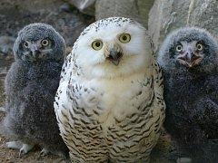 Dvě mláďata sovice sněžní se vyklubala na konci června v ústecké zoologické zahradě.