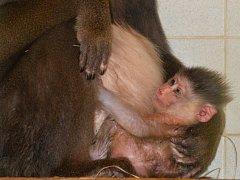 Nejnovějším přírůstkem zoologické zahrady je mládě mandrila rýholícího.