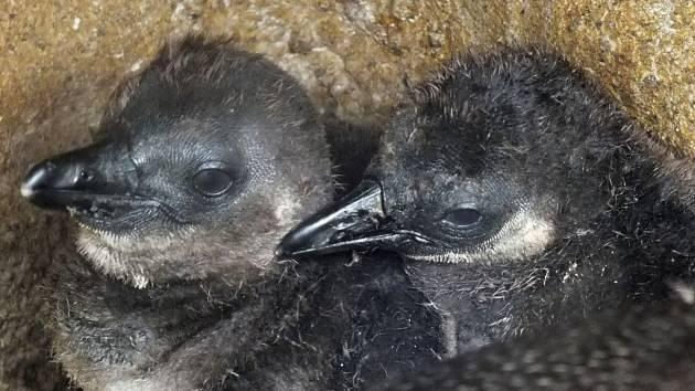 Mláďata tučňáka brýlového v ústecké zoo prospívají