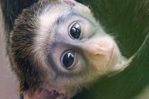Mládě kočkodana Brazzova je s nadcházející letní sezonou největším klenotem pavilonu opic ústecké zoo.