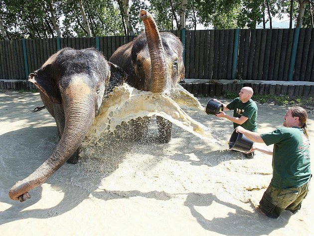 Pracovníky ústecké zoologické zahrady zachytil objektiv fotoaparátu při osvěžování slonů.