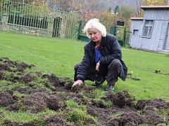 Divoká prasata nebojácně chodí snídat na fotbalové hřiště v ústecké Brné ve čtvrti Střekov.