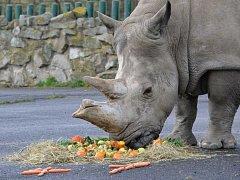 Samice nosorožce tuponosého Zamba oslavila narozeniny.