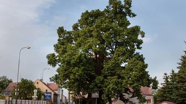 Lípu v Krupce - Unčíně do ankety navrhlo občanské sdružení Zdraví pro Krupku.