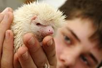 Bílý ježek Aramis se svým kamarádem Pavlem Hradeckým žije v Ústí.