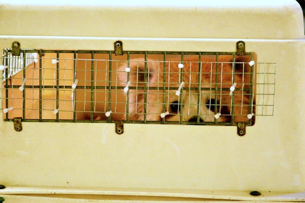 Panda červená v transportním boxu