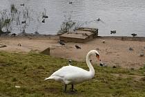 Na Střekově pod starým mostem bílé labutě secvičovaly hladový balet.