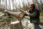 Kácení stromů napadených kůrovcem v okolí Jetřichovic a Hřenska