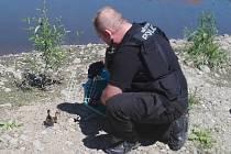 Strážníci odchytli kachnu a káčata. Vypustili je do Labe.