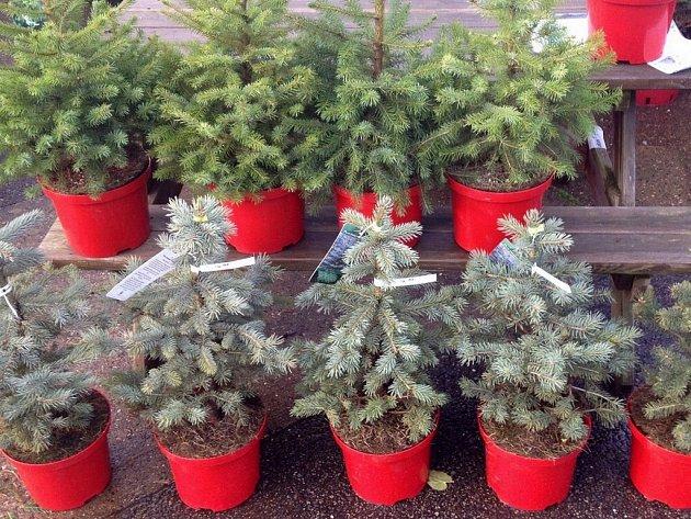 Vánoční stromek může být i v květináči.