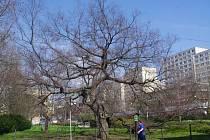 O titul Strom roku se uchází břestovec z parku