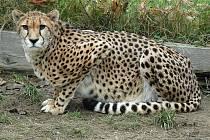 Gepardí samice Noemi.