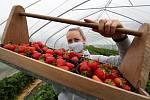 Sklizeň jahod na plantáži ve Svádově