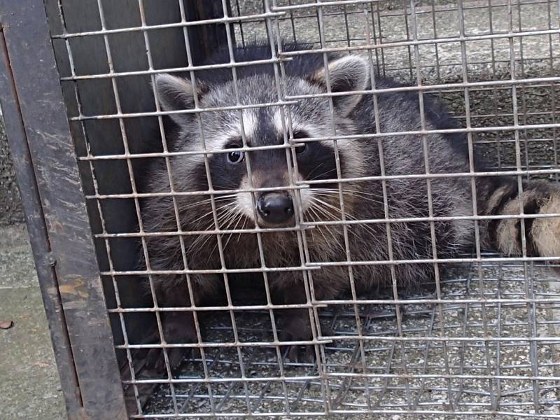 Jeden z mývalů chycený do klece.