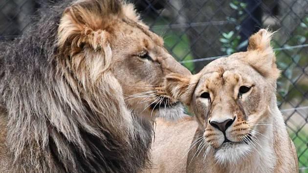 Ústecký lvice Kivu a brněnský lev Bolek v sobě našli zalíbení.