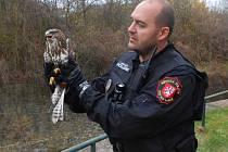 Káně lesní s poraněným křídlem odchytila hlídka ústeckých strážníků.