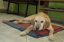 Labradorka Sindy se zotavuje z operace.