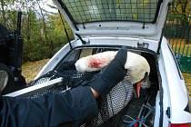 Strážníci odchytili zraněnou labuť a odvezli ji k ošetření.