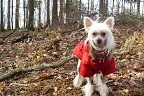 Čínský chocholatý pes. Ilustrační foto.