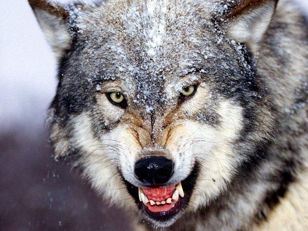 Vlk již v dobách dávno minulých symbolizoval smrt.