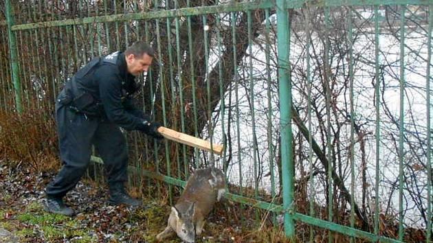 Strážníci vyprostili u rybníka v Habrovicích z plotu zaklíněnou srnku.