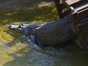 Jarní stěhování aligátora Libora v ústecké zoo.