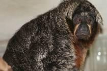 Nový přírůstek, opice jménem Kawa.