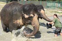 V místní zoo ošetřovatelé polévali a osvěžovali slony vodou.