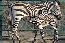 Už 104. mládě zebry Hartmannové se v sobotu narodilo v ústecké zoologické zahradě.