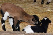Prvním letošním mládětem je v ústecké zoo ovce kamerunská.