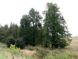 Skupina sedmi stromů u Petrovic byla vysazena před 200 lety jako vzpomínka na bitvu u Chlumce. Mohly by se stát památnými stromy.