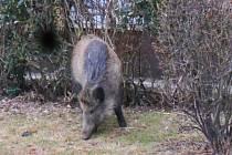 Zatoulané divoké prase odstřelil myslivec v parku Družba.