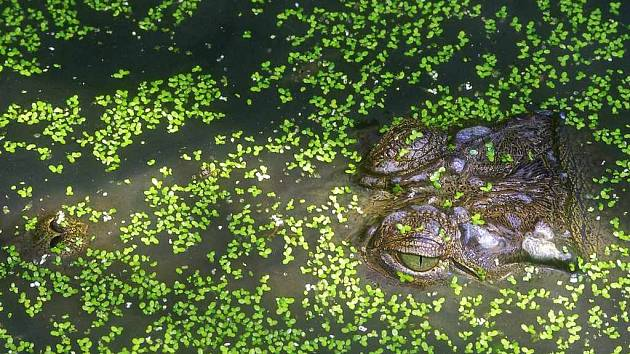 S aligátory zažil nebezpečné chvíle fotograf Michael Fokt
