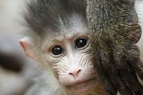 V ústecké zoologické zahradě se narodilo letošní první mládě mandrilů rýholících.