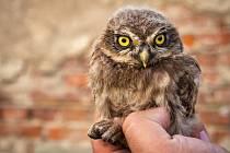 Jedno z 95 mláďat, který sýčci letos vyvedli v severních Čechách