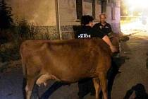 Kráva se promenádovala na náměstí v Předlicích.