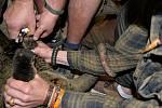 Zastříhávat přerostlé drápy některým zvířatům v ústecké zoo není žádná legrace. Přesvědčili se o tom chovatelé, když chtěli upravit končetiny samečkovi kuskusa medvědího a dvěma starým lenochodím dámám, Pražandě a Babulce.