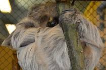 Ústecká zoo má nového lenochoda.