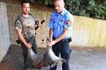 Jednoho z čuníků se myslivci podařilo na bezpečném místě odstřelit. Ostatní prasata utekli dírou v plotě.