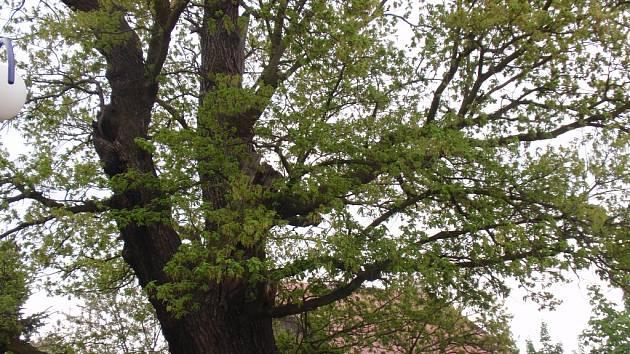 Dub z Proboštova může mít titul Strom roku.