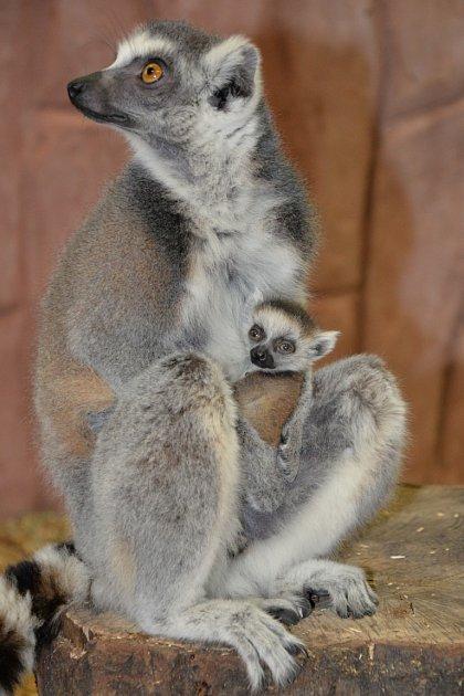 Lemur kata - matka smládětem vústecké zoo.