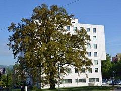 Dub z Ústí bojuje o titul Strom roku.