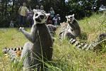 Ústecká zoologická zahrada otevřela průchozí výběh lemurů kata.